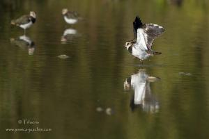 Vanneau huppé-Domaine des oiseaux 06.09.2015