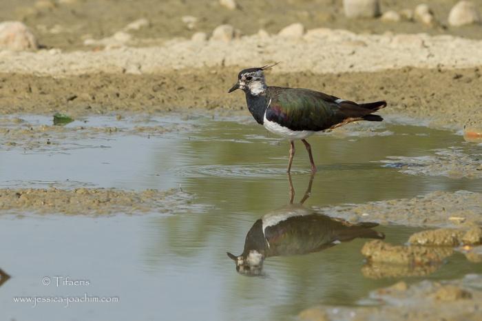 Vanneau huppé-Domaine des oiseaux 04.07.2015