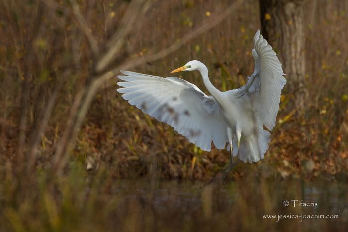 Grande aigrette-Domaine des oiseaux 22.11.2015