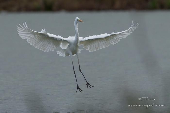 Grande aigrette-Domaine des oiseaux 28.11.2015