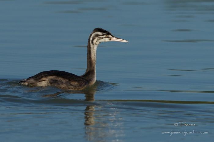 Grèbe huppé-Domaine des oiseaux 06.09.2015