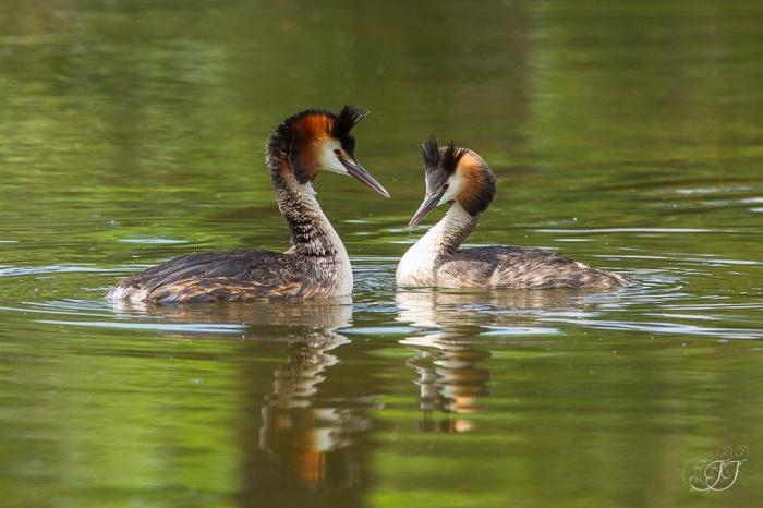 Grèbe huppée-Réserve ornithologique du Teich 05.06.2015