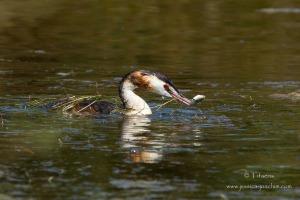 Grèbe huppé-Réserve ornithologique du Teich 17.08.2014