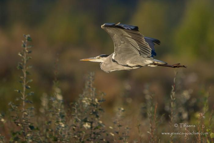 Héron cendré-Domaine des oiseaux 16.10.2015