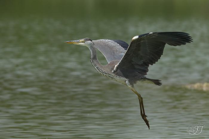 Héron cendré-Domaine des oiseaux 04.06.2016