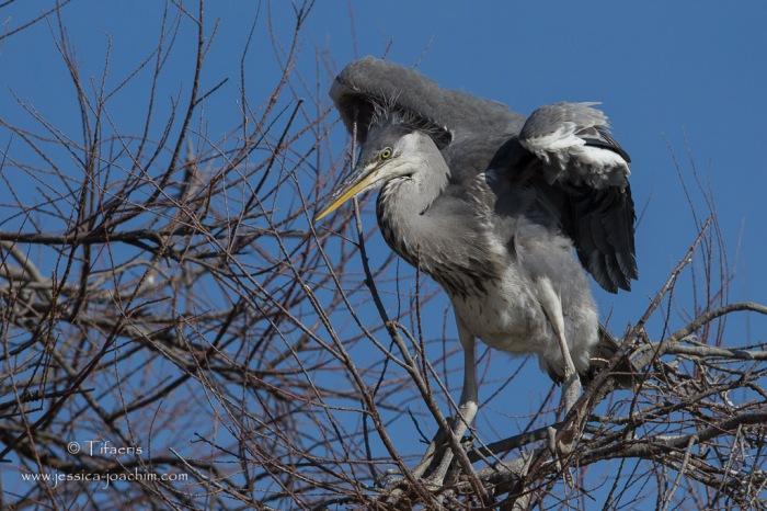 Héron cendré-Parc ornithologique de pont de Gau 08.03.2015