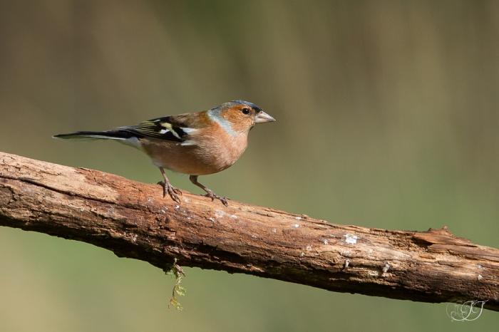 Pinson des arbres-Domaine des oiseaux 05.03.2016