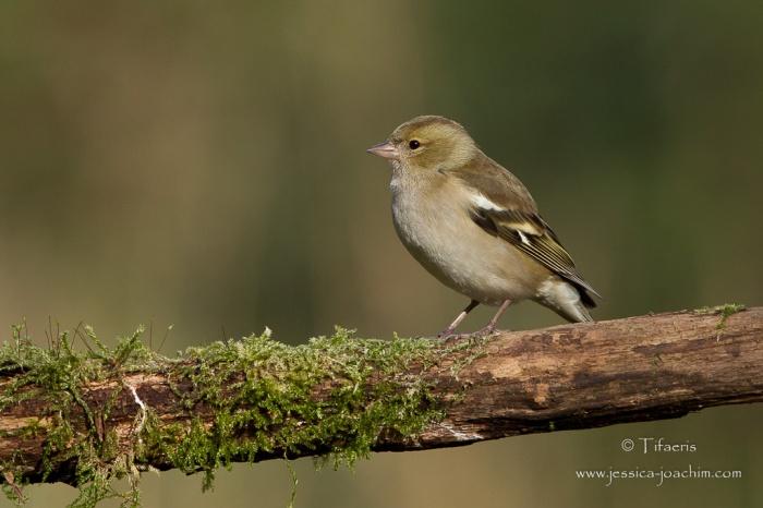 Pinson des arbres-Domaine des oiseaux 28.11.2015
