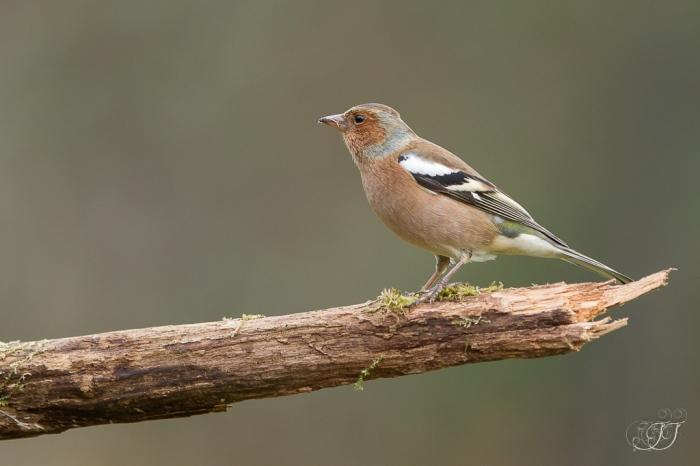 Pinson des arbres-Domaine des oiseaux 03.01.2016