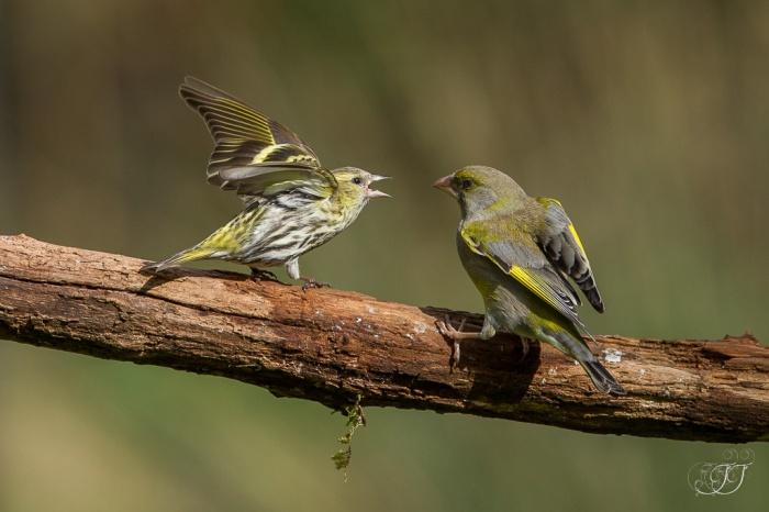 Tarin des aulnes-Domaine des oiseaux 05.03.2016