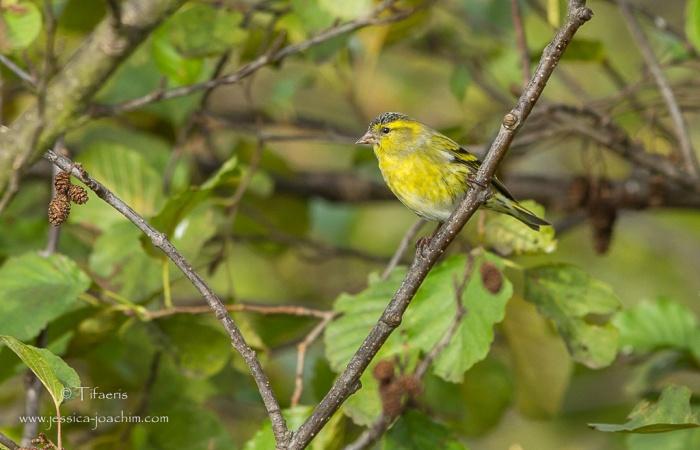Tarin des aulnes-Domaine des oiseaux 24.10.2015