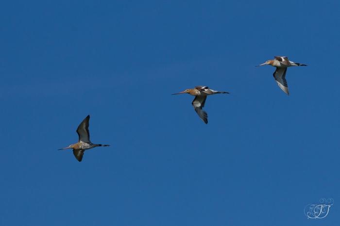 Barge à queue noiree-Réserve ornithologique du Teich 05.06.2015