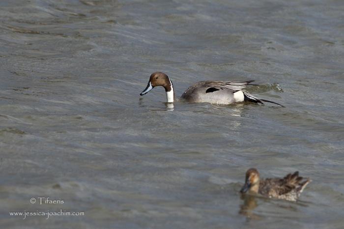 Canard pilet-Réserve ornithologique du Teich 21-22.02.2015