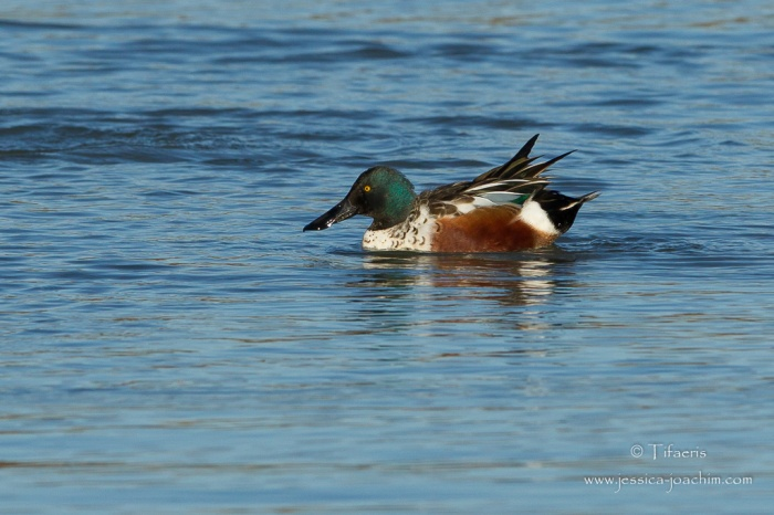 Canard souchet-Domaine des oiseaux 28.11.2015