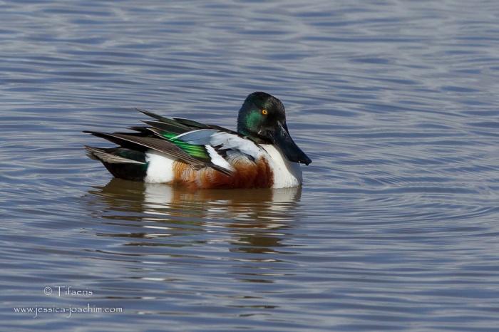 Canard souchet-Réserve ornithologique du Teich 21-22.02.2015