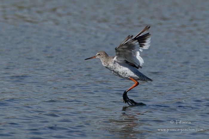Chevalier gambette-Réserve ornithologique du Teich 16.08.2014
