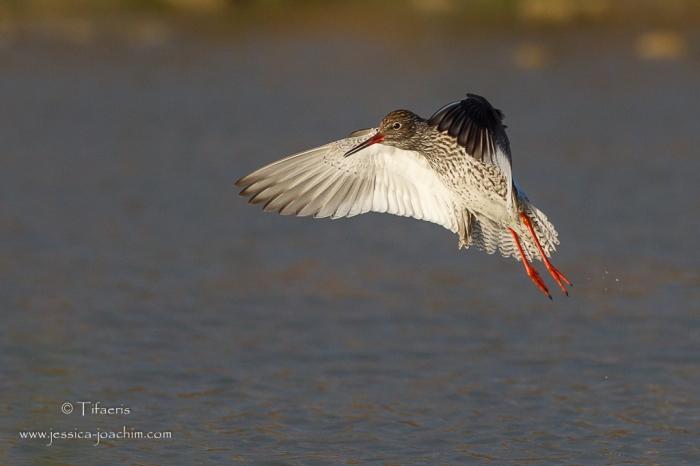 Chevalier gambette-Domaine des oiseaux 05.04.2015