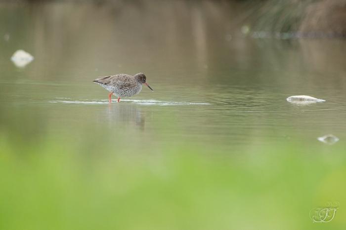 Chevalier gambette-Domaine des oiseaux 26.04.2016