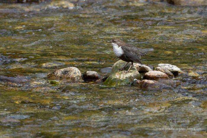 Cincle plongeur-Ariège 19.09.2015