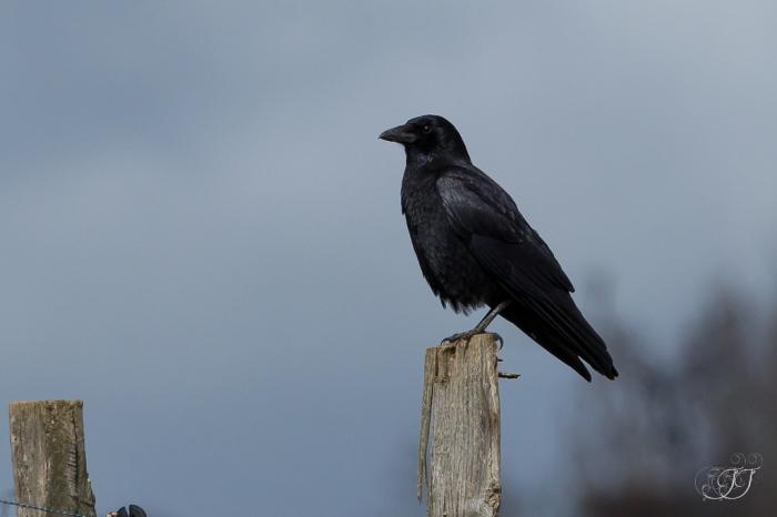 Corneille noire-Domaine des oiseaux 27.03.2016