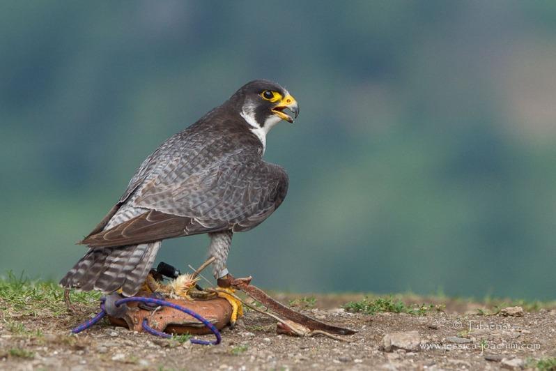 Faucon pèlerin-Les aigles de Lordat 26.08.2014