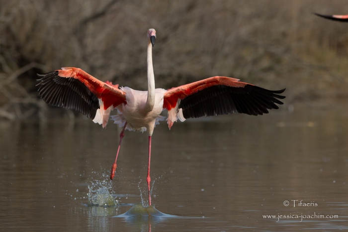 Flamant rose-Parc ornithologique de pont de Gau 08.03.2015