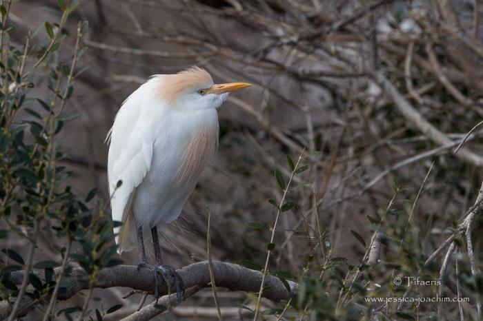 Héron garde-boeufs-Parc ornithologique de pont de Gau 08.03.2015