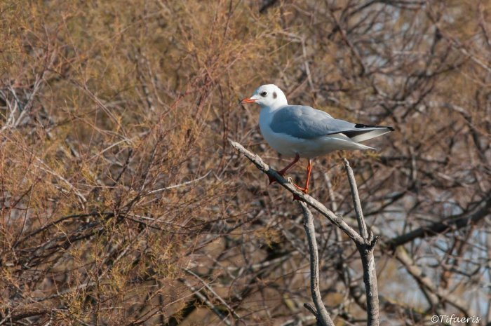 Mouette rieuse 12
