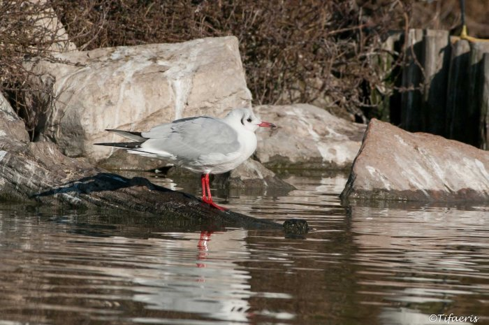 Mouette rieuse 16