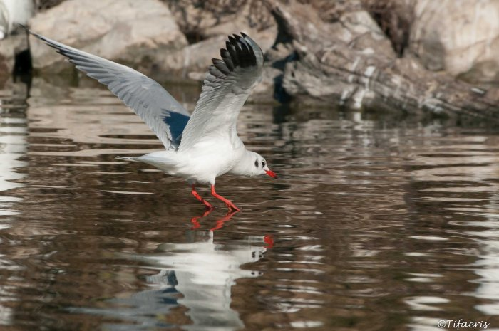 Mouette rieuse 17