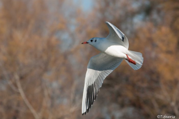 Mouette rieuse 3