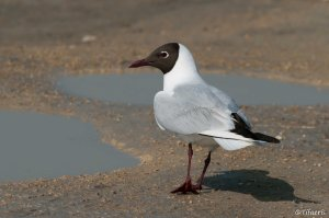 Mouette rieuse 6