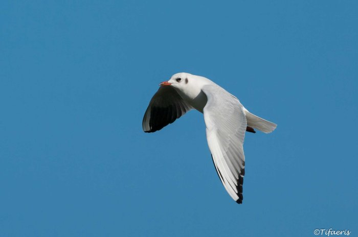 Mouette rieuse 9