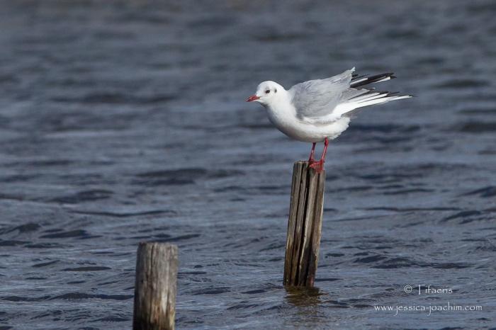Mouette rieuse-Réserve ornithologique du Teich 21-22.02.2015