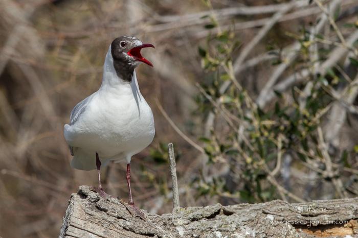 Mouette rieuse-Parc ornithologique de pont de Gau 08.03.2015