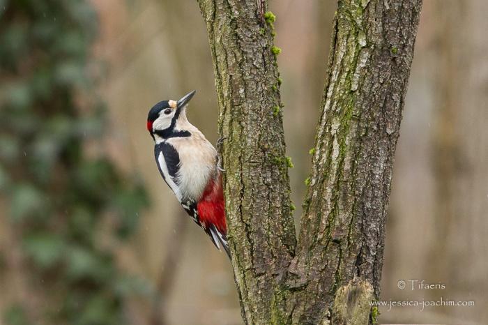 Pic épeiche-Domaine des oiseaux 14.02.2015
