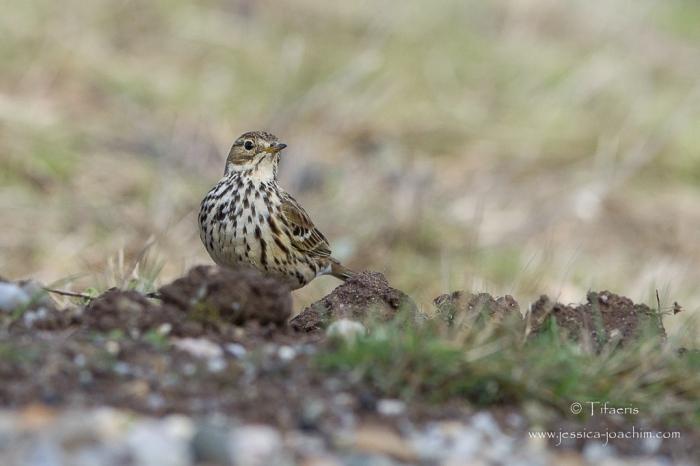 Pipit farlouse-Réserve ornithologique du Teich 21-22.02.2015