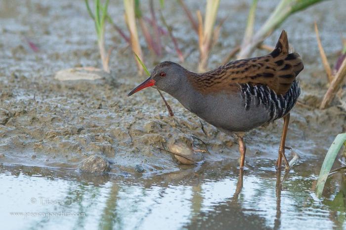 Râle d'eau-Domaine des oiseaux 24.10.2014
