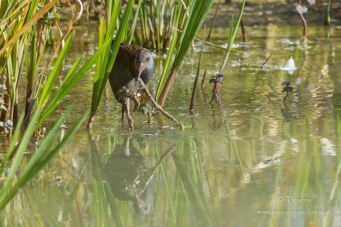 Râle d'eau-Domaine des oiseaux 11.10.2015