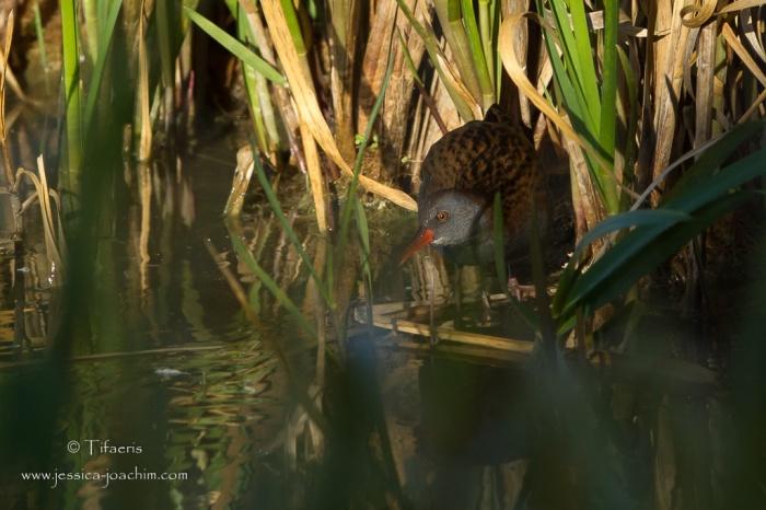 Râle d'eau-Domaine des oiseaux 16.10.2015