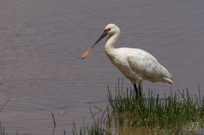 Spatule blanchee-Réserve ornithologique du Teich 05.06.2015