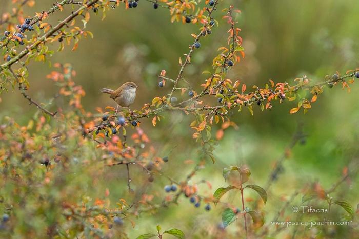 Bouscarle de cetti-Domaine des oiseaux 04.10.2015
