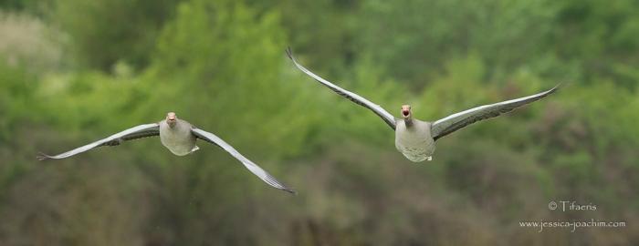 Oie cendrée-Domaine des oiseaux 25.04.2015