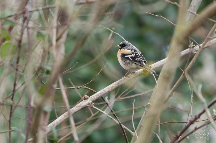 Pinson du nord-Domaine des oiseaux 16.01.2016