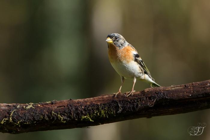 Pinson du nord-Domaine des oiseaux 05.03.2016