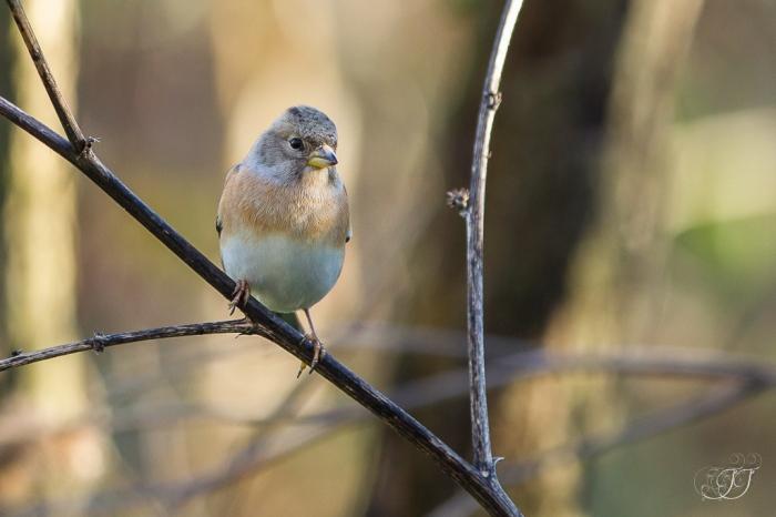 Pinson du nord-Domaine des oiseaux 24.01.2016