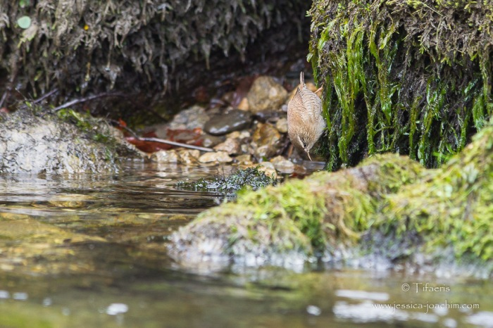 Troglodyte mignon-Ariège 25.10.2015