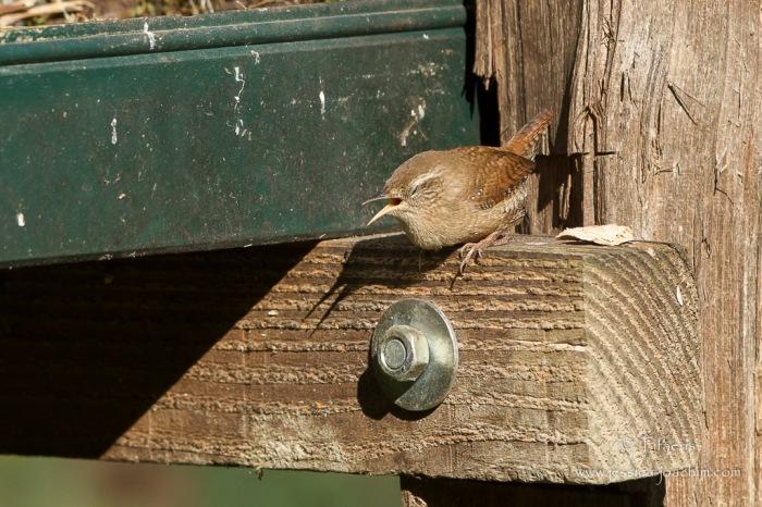 Troglodyte mignon-Domaine des oiseaux 01.11.2015