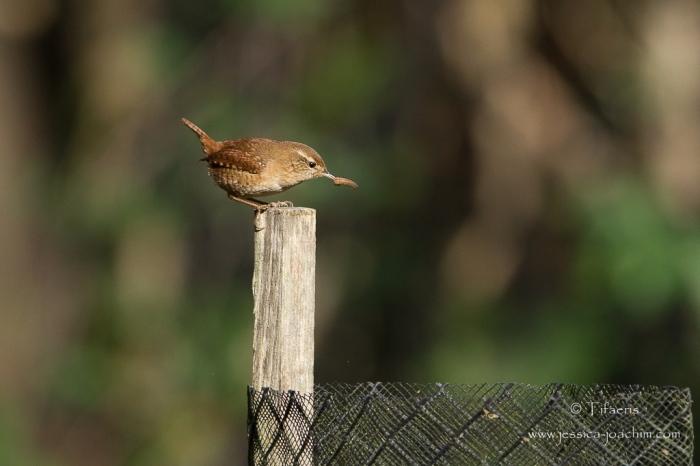 Troglodyte mignon-Domaine des oiseaux 11.11.2015