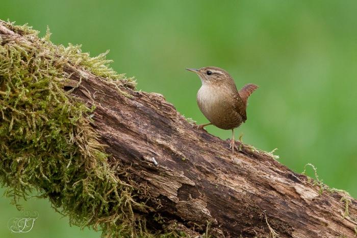 Troglodyte mignon-Domaine des oiseaux 17.01.2016